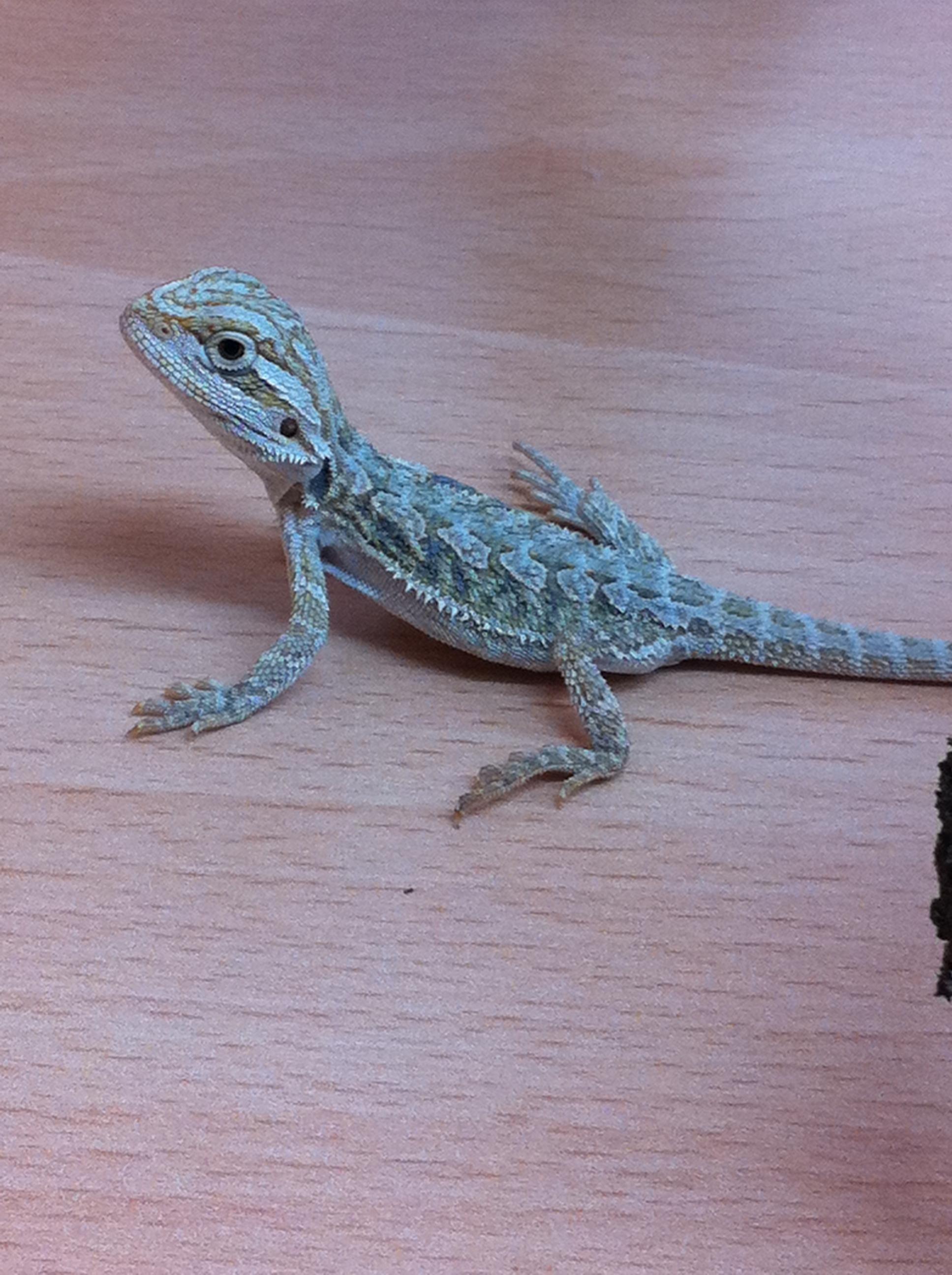 0c8ba13329b47 blue bearded dragon - Google Search | bearded dragons | Bearded ...