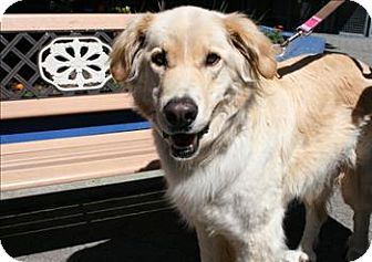Adopt A Pet George Vancouver Bc Golden Retriever Afghan
