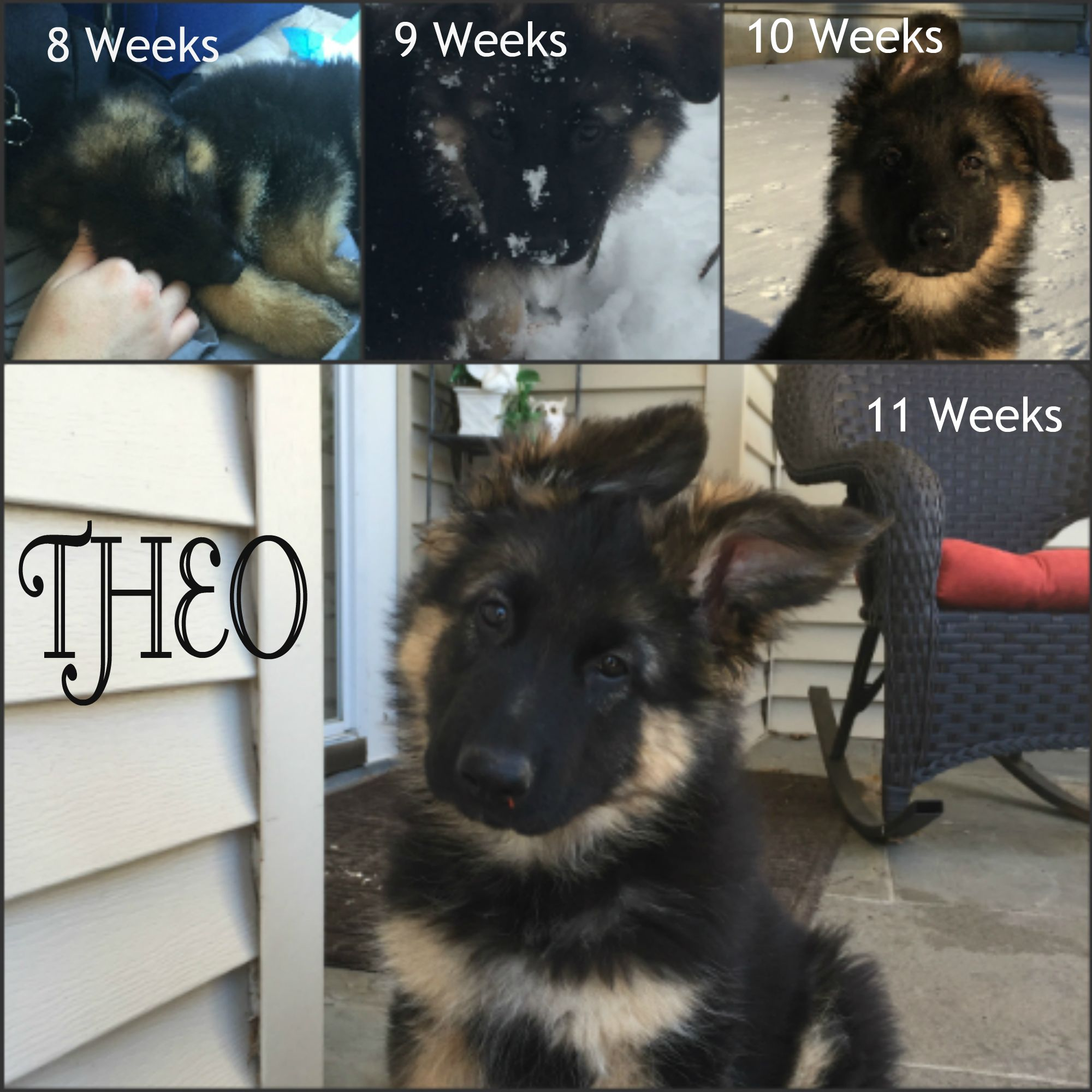 Theo My Long Haired German Shepherd Puppy Full Of Energy And