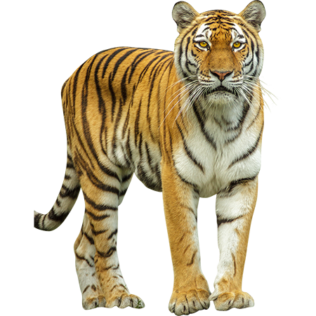 This large jungle cat comes to you in cutout PNG format