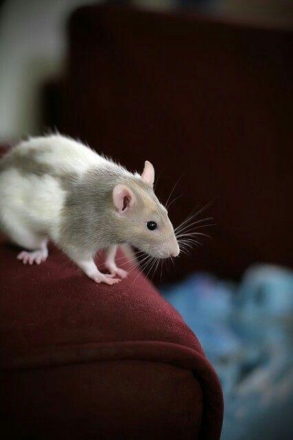 Pin Von Nagisa Furukawa Auf Ratte Ratte Haustier Haustiere Ratten
