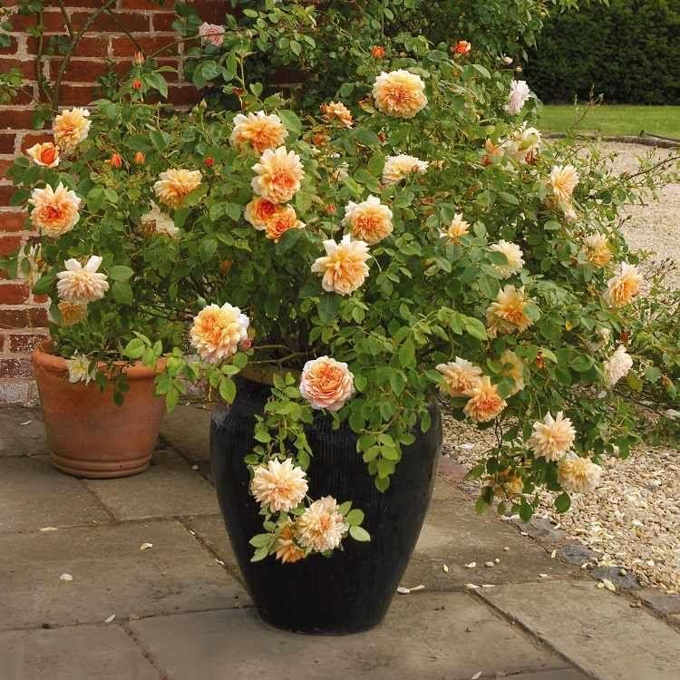 rosier en pot culture et entretien conseils Rosier en