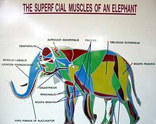 Elephant anatomy elephante pinterest anatomy zoos and vet med elephant anatomy ccuart Image collections