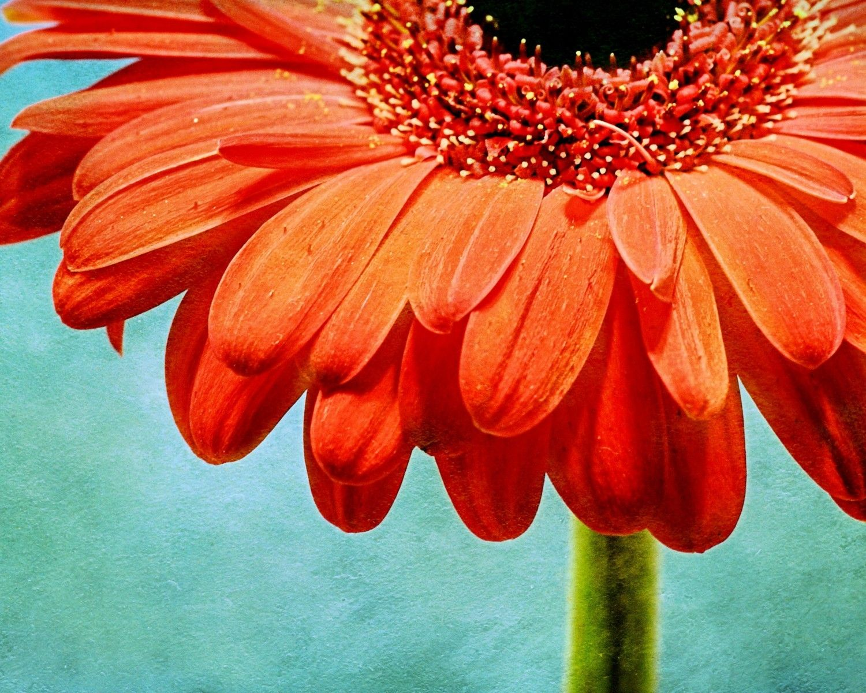 Textured Orange Gerbera Daisy Flower With Teal Background Fine