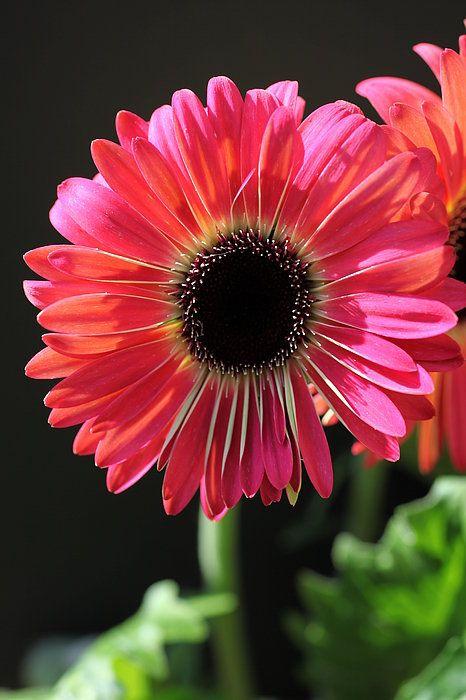 White Freckles Art Print By Tammy Pool Gerbera Flower Gerbera Daisy Amazing Flowers