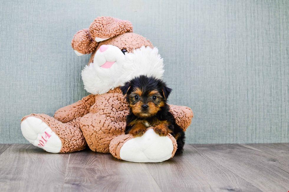 Teacup Yorkie Puppy 8 Week Old Yorkshire Terrier For Sale Yorkshireterrier Yorkie Puppy Teacup Yorkie Puppy Yorkie Puppies For Adoption