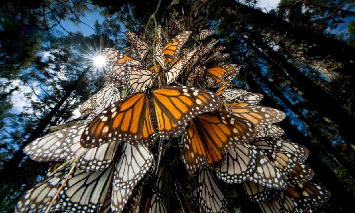 Monarch butterfly population wintering in Mexico increases