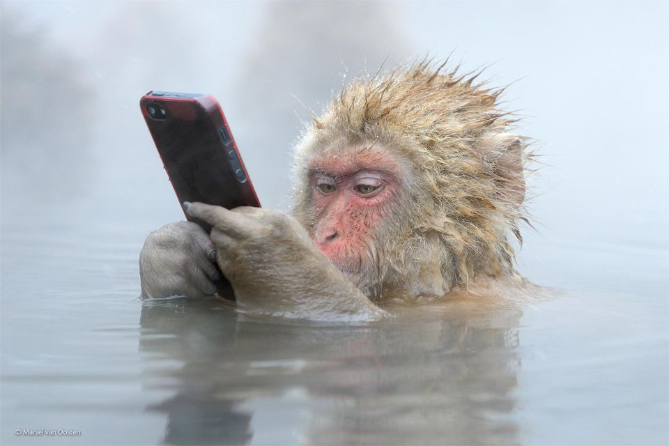 japanese snow monkey and his smart phone photo | Monkeys funny, Funny  animals, Animals beautiful