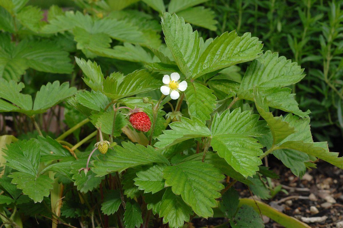 wald erdbeere meine gartenpflanzen pinterest erdbeeren wald und gartenpflanzen. Black Bedroom Furniture Sets. Home Design Ideas
