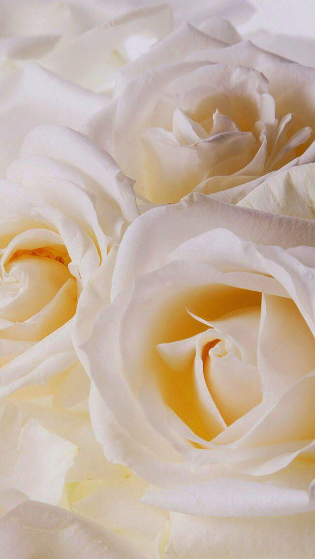 White Rose Wallpaper Rosas Brancas Casamento Rosas Brancas