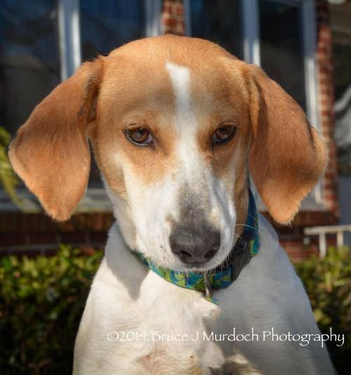 Ain't nothing but a hound dog, who is adorable all the time… Meet Maryjane - she is an adult Hound girl who has the looks of a hound, but the manners of a lady. Agreeable with all, Maryjane blends in wherever she is and is content with any and all affection / attention you give her  To learn more about Maryjane and to submit an application to meet her , visit our website today! www.savinggracenc.org