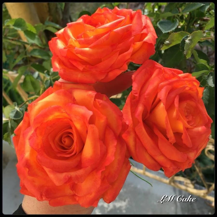 Orange and red tipped wired Sugar roses by Lisa Templeton | Cakes ...