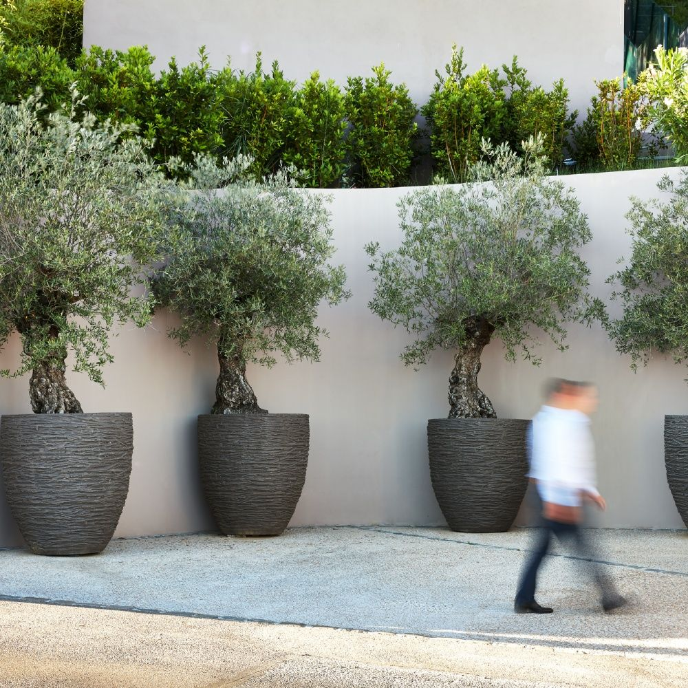 Atelier Vierkant Potted Trees Olive Trees Garden Garden Planters