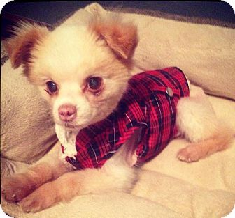 Norman, OK - Pomeranian. Meet Dior, a dog for adoption. http://www.adoptapet.com/pet/12504982-norman-oklahoma-pomeranian