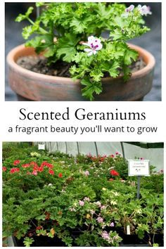 Scented Geraniums: Another Fragrant Beauty You'll Want to Grow