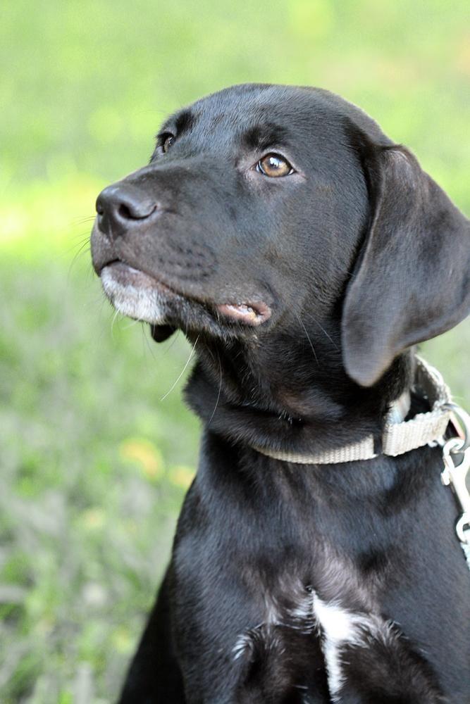 Adopt Potsie on Labrador retriever, Shepherd mix dog