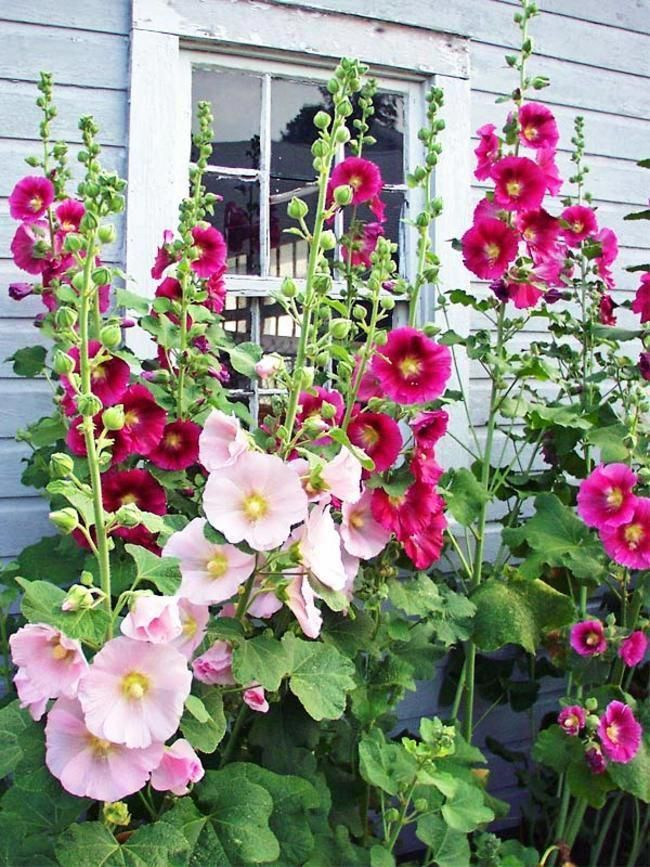 Hollyhocks flowers  Hollyhock Old Farmyard (Alcea) is part of Hollyhocks flowers, Flowers perennials, Simple garden designs, Flower garden, Beautiful flowers, Plants - Hollyhock Old Farmyard (Alcea) is part of Hollyhocks flowers  Mixed colors The classic old fashioned single, tough Hollyhocks from grandmother's garden conjure beloved memories Hollyhocks are long lived and self sow easily Shades of pink, red and yellow Spring Shipping Only