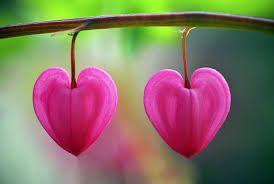 Výsledek obrázku pro květ ve tvaru srdce