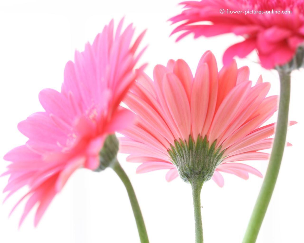 gerbera daisies wallpapers wallpaper | hd wallpapers | pinterest