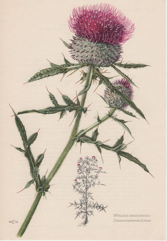 Hey, I found this really awesome Etsy listing at https://www.etsy.com/listing/170003272/1955-woolly-thistle-antique-botanical