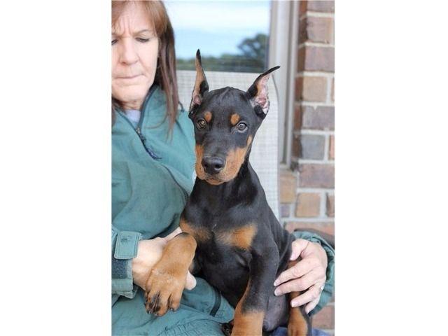 Friendly Doberman Pinscher Doberman Doberman Pinscher Puppy
