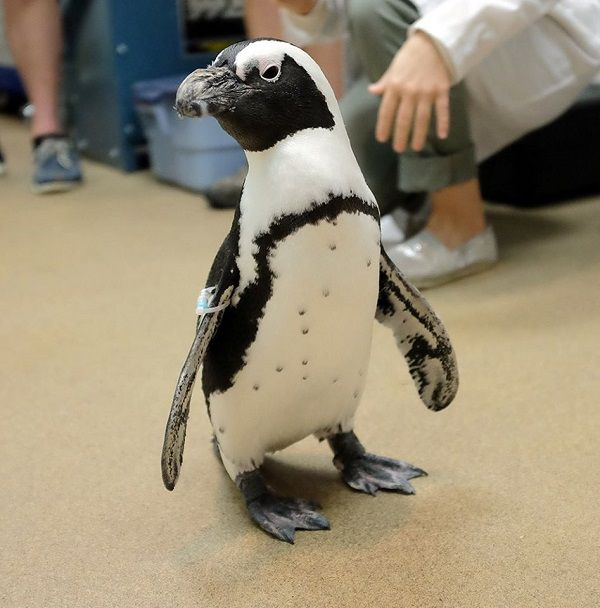 Penguin Thanks Veterinarians With Painting (With images