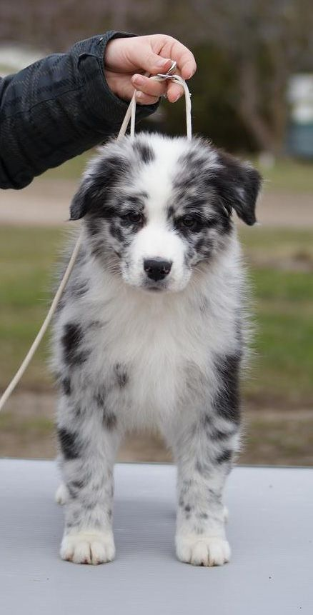 Bi Blue Australian Shepherd Cute Dogs Puppies Aussie Puppies