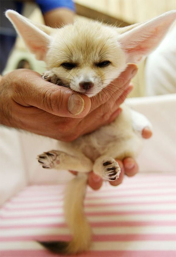 Baby fox :) Look at those ears!!