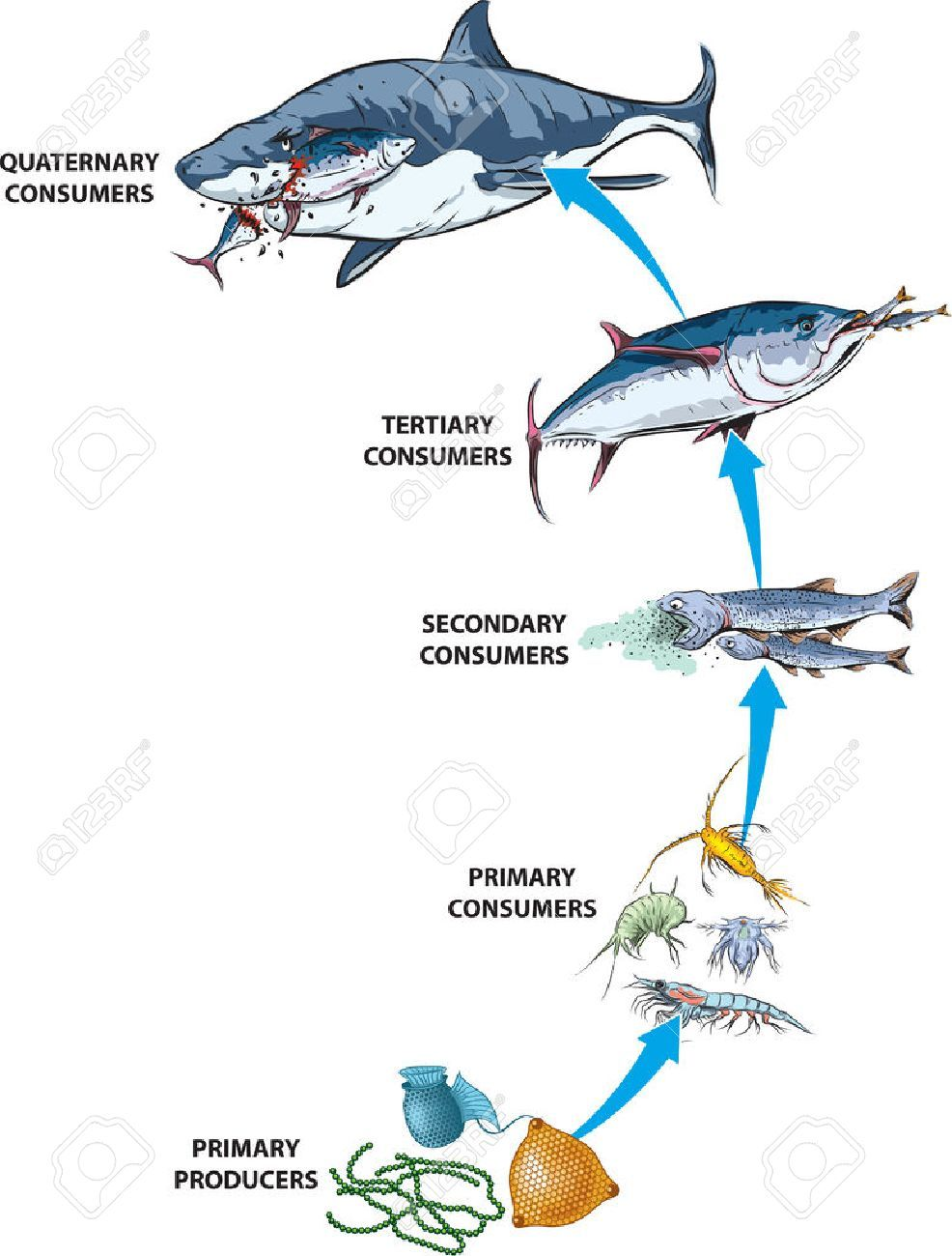 Chaine Alimentaire De L Ocean Ocean Food Chain Ocean Food Food Chain Diagram