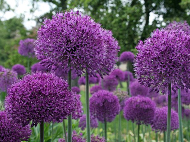 Https Www Google Nl Blank Html Allium Flowers Planting Bulbs Plants