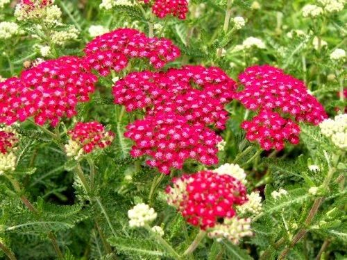 Achillea Millefolium Cerise Queen - Yarrow - Good to plant near the vegetable garden to attract beneficial insects!Grows well in full sun, in poor soil. Prefers some moisture but has good drought tolerance. Avoid wet locations.