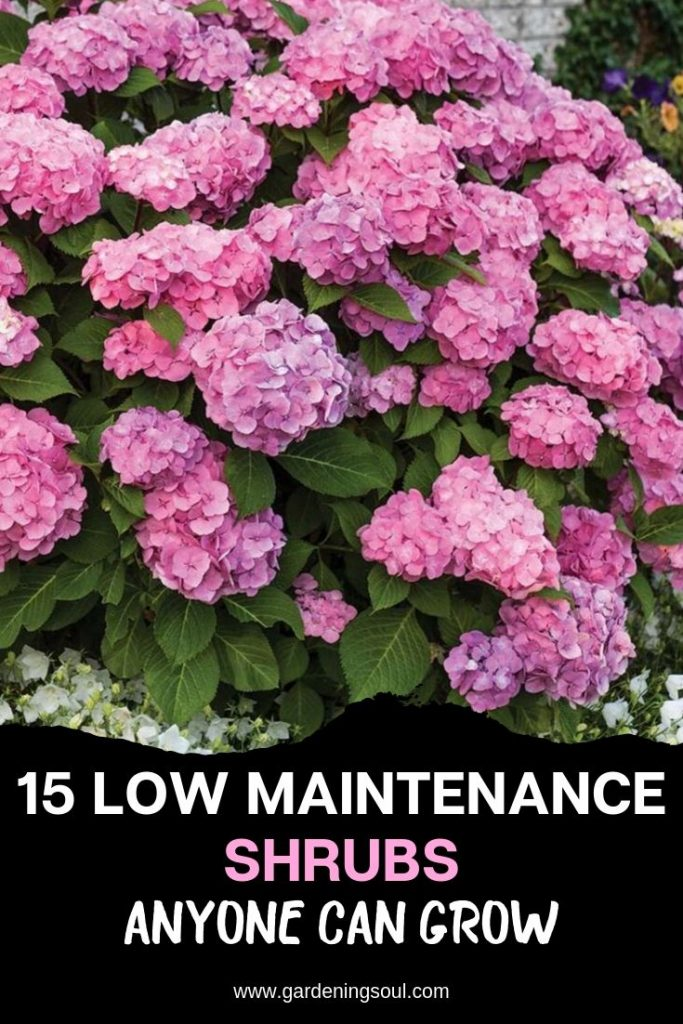 15 Low Maintenance Shrubs Anyone Can Grow Grow Long Blooming Perennials Low Maintenance Per In 2020 Low Maintenance Shrubs Shrubs For Landscaping Landscaping Shrubs