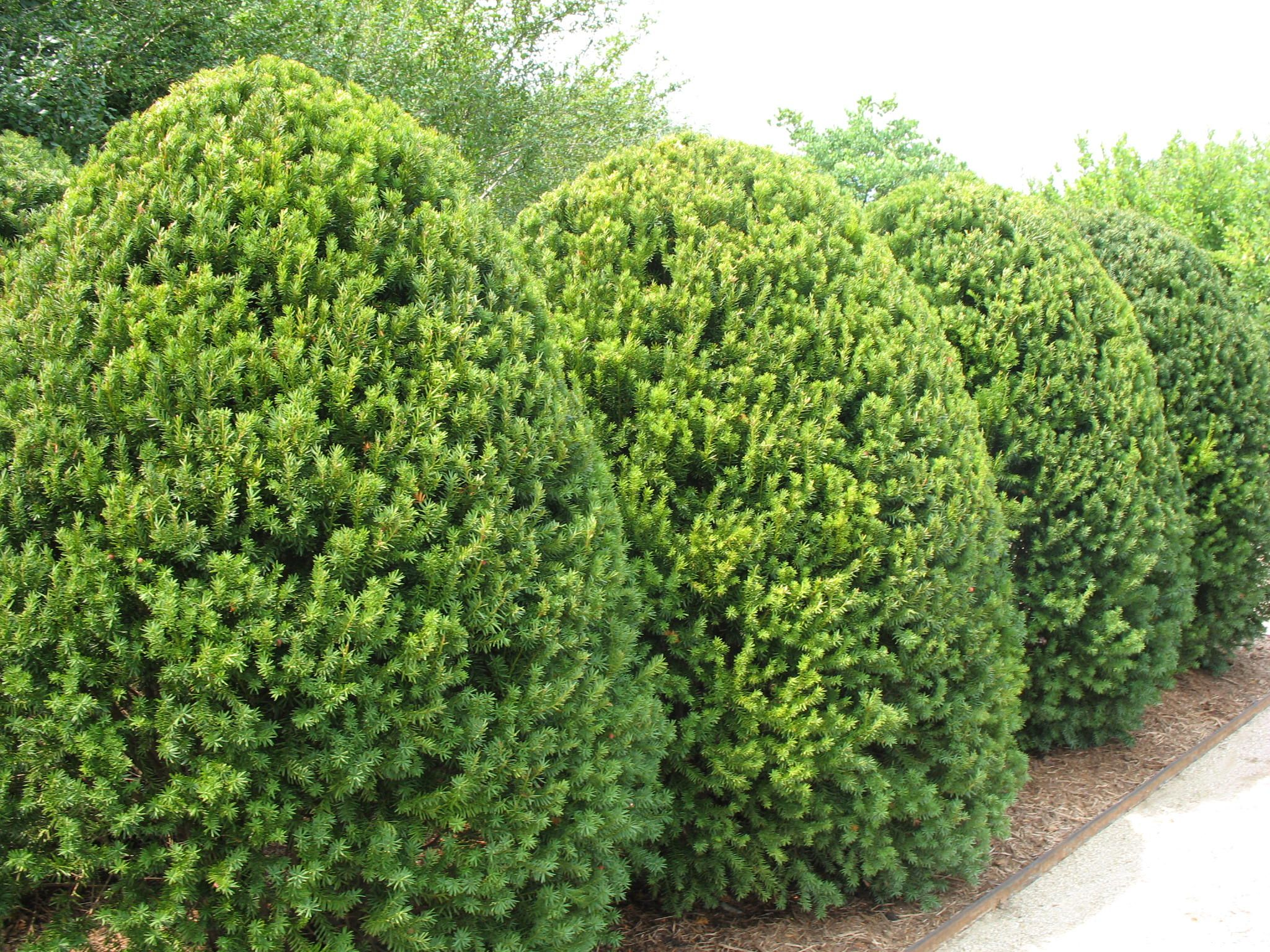 Taxus x media 39 hicksii 39 hicks yew for Garden yew trees