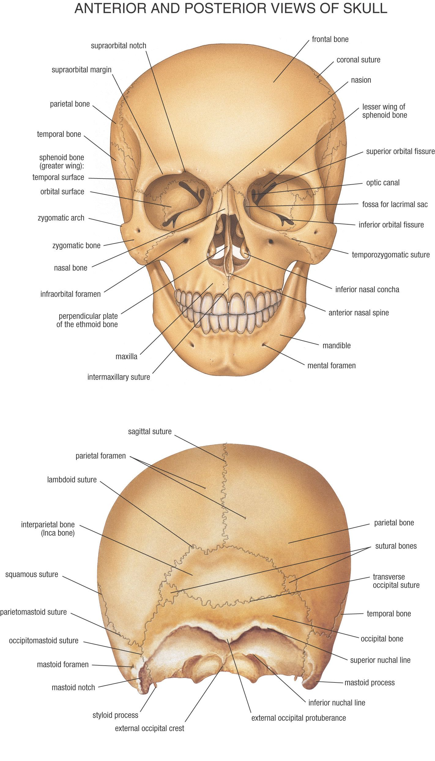 Cranial And Facial Bones Esthetics Pinterest Anatoma