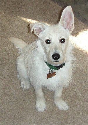 Tyson The Rat Terrier Poodle Hybrid Rattle Poodle Cross
