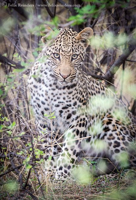 A Lovely Leopard In Limpopo Lipadi Animals Beautiful Africa