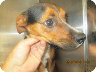 Douglasville Ga Beagle Chihuahua Mix Meet Roy A Dog For