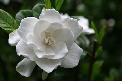 Experiences Flower Essences Flowers Gardenia