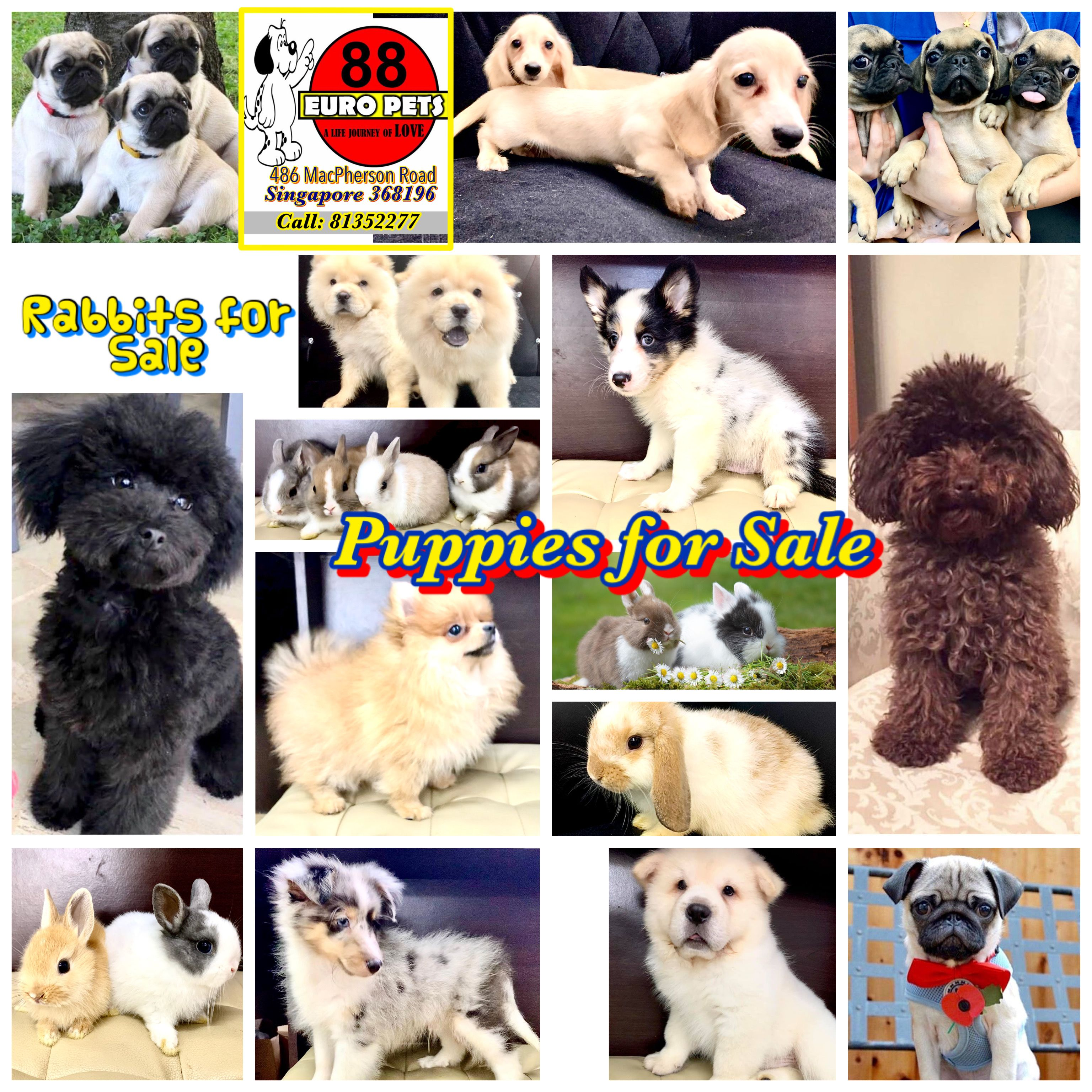 Puppies And Rabbits For Sale Holland Lop Pug Toy Poodle Maltipoo
