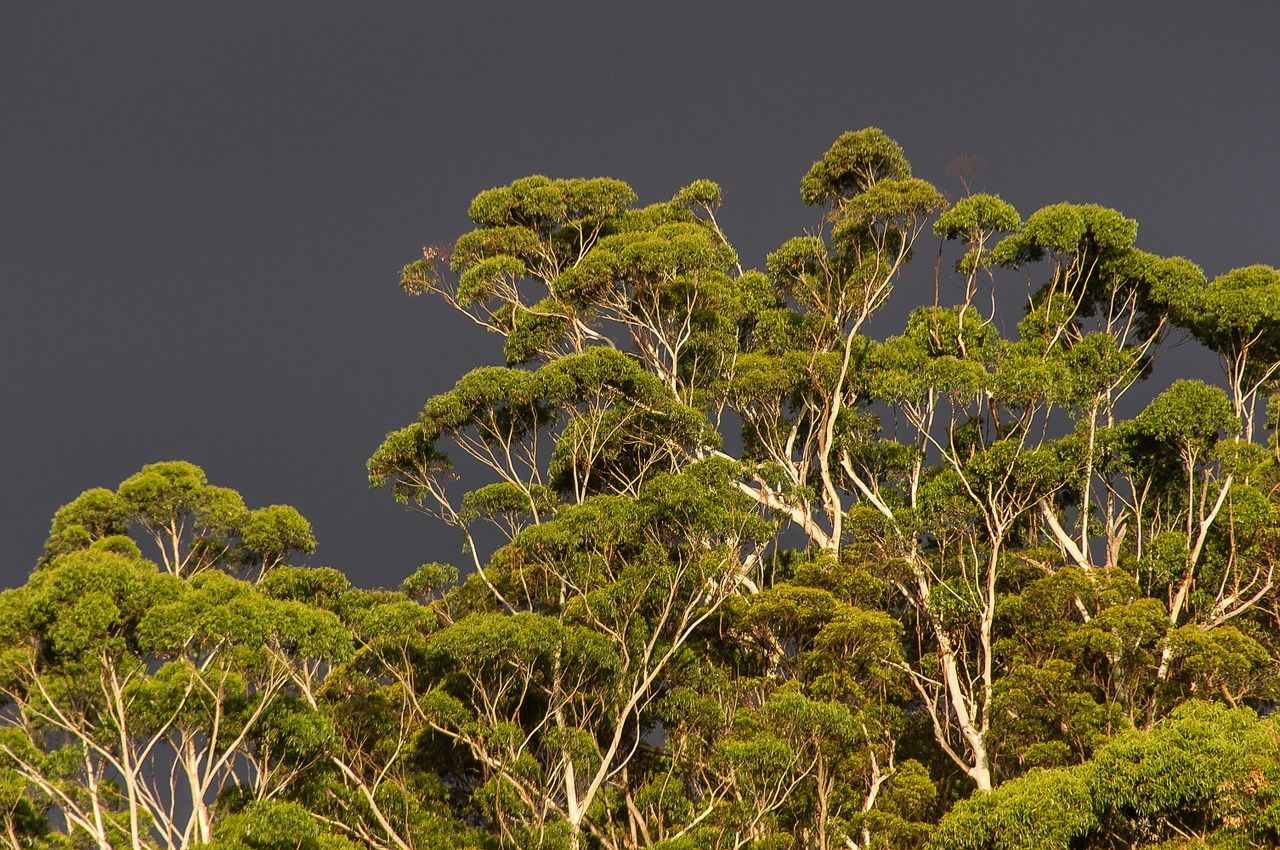 Free Image On Pixabay Gum Trees Eucalypts Green Native Trees To Plant Tree Seeds Tree