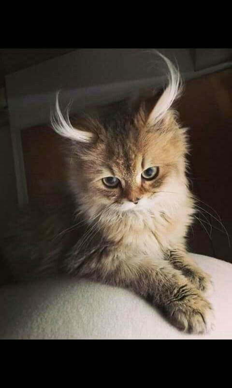 Cat With Super Long Ear Hair Beautiful Cats Cats Cute Cats