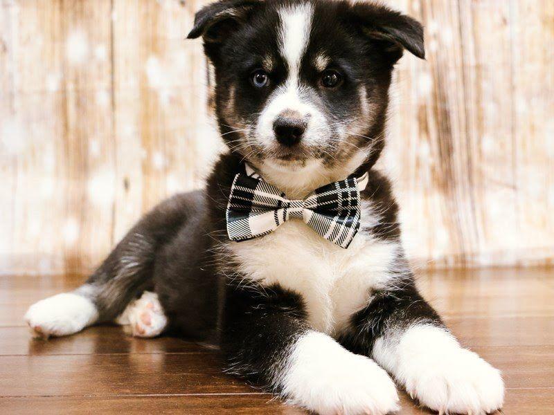 Pomsky Puppies Pets N Pals Staunton Va Pomsky Puppies For Adoption