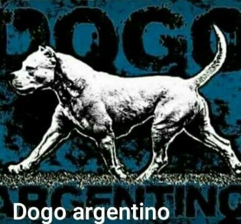 Dogo Argentino Wallpaper Dog Argentino Hog Dog Bully Dog
