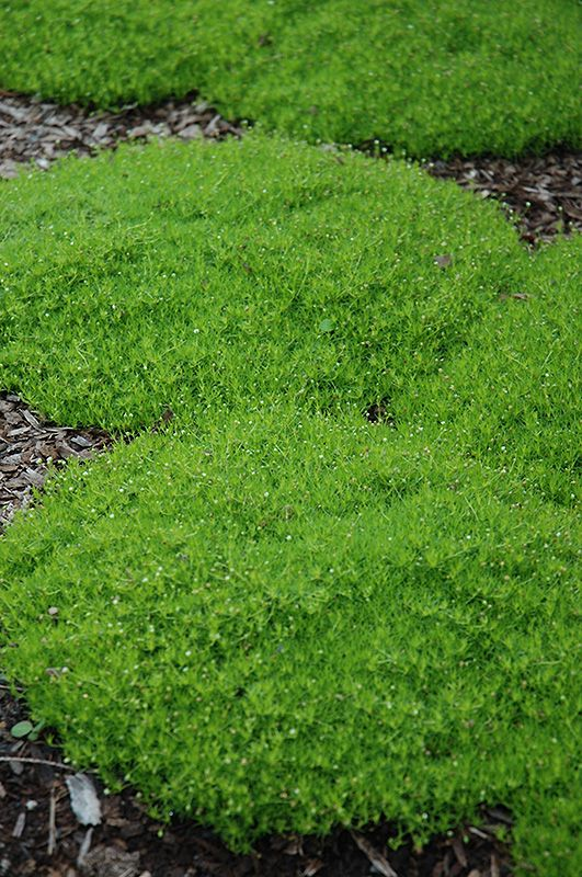 Irish Moss Sagina Subulata At Gertens Irish Moss Landscape Ground Cover Plants