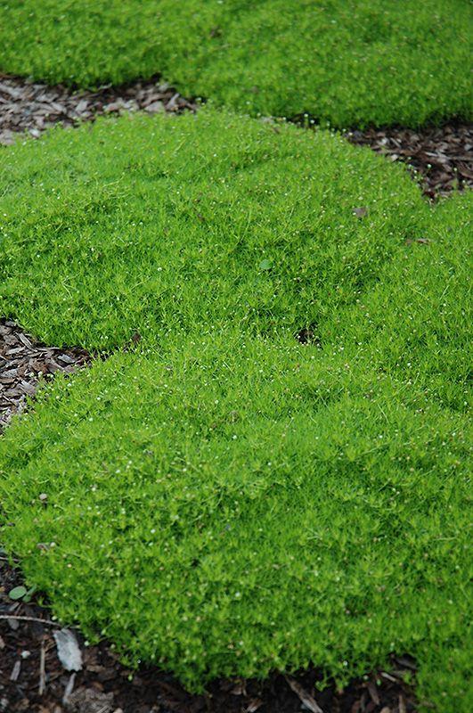 Click to view full-size photo of Irish Moss (Sagina subulata) at Garden Supply Company