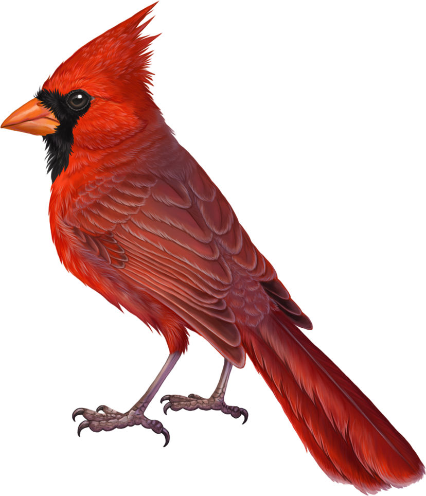 Commission For Cardinalidae Of A Northern Cardinal One Of