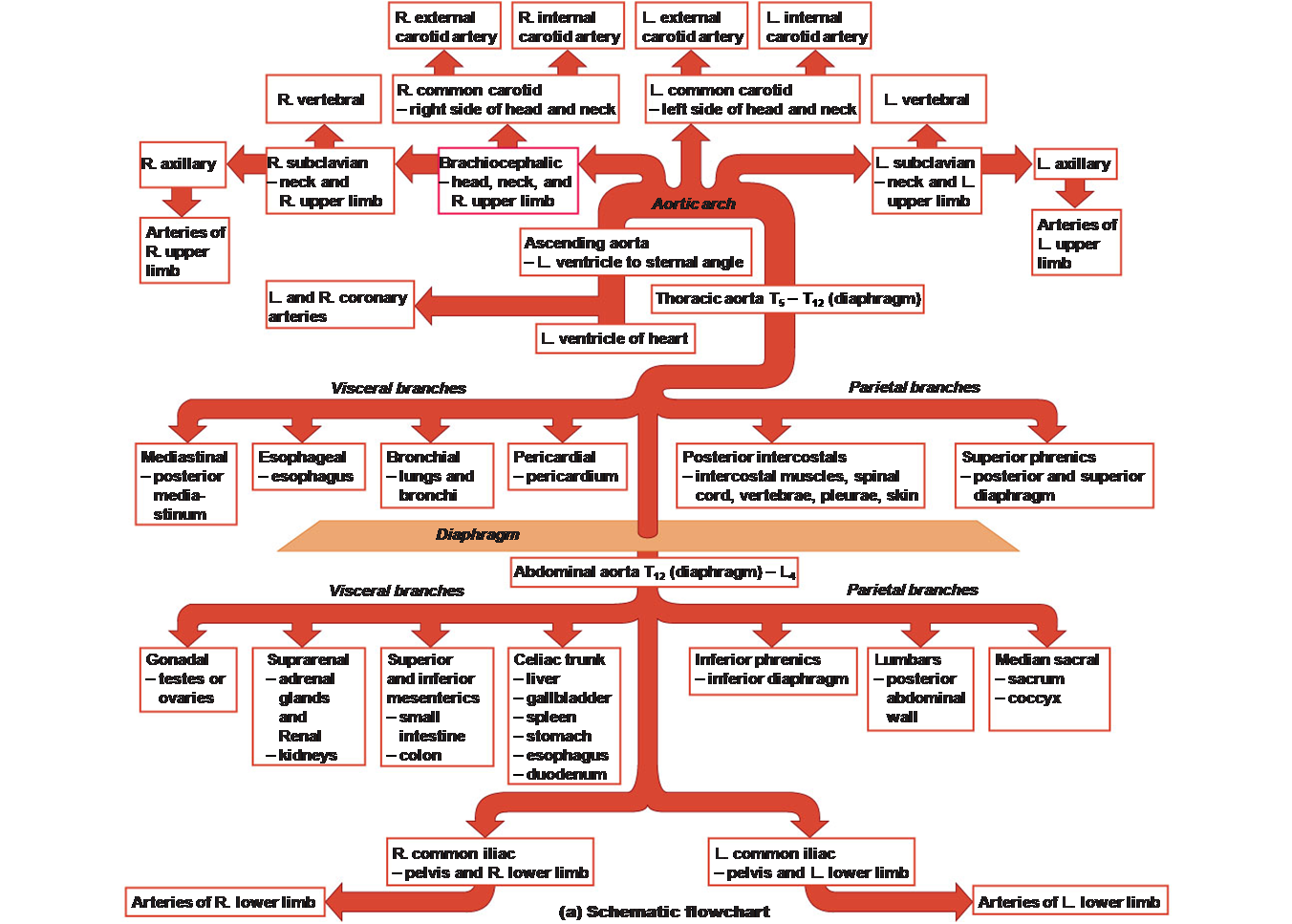 Aorta Blood Supply Schematic