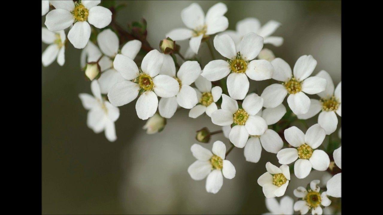 Aakhri aarzoo urdu white flowers images wallpapers wallpapers wallpapers for desktop mightylinksfo