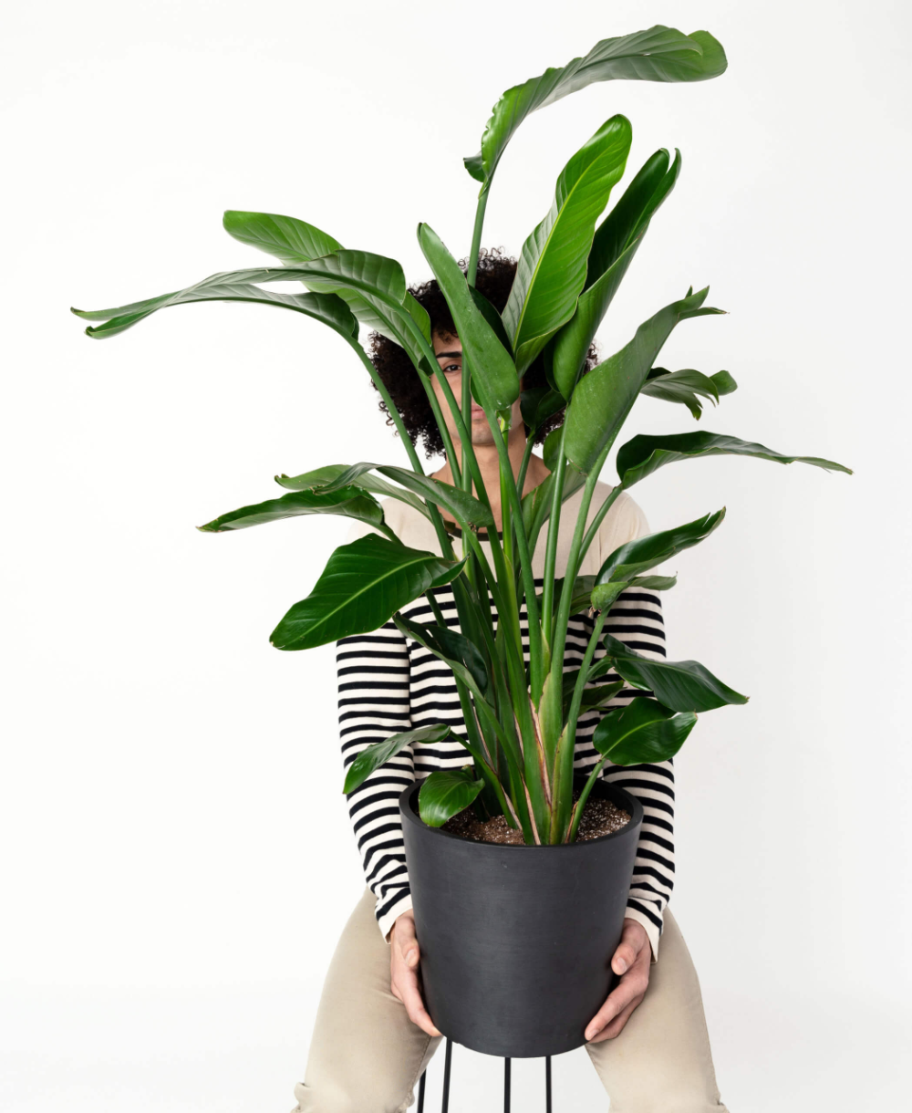 Bird Of Paradise Plant Care Guide Birds Of Paradise Plant Paradise Plant Indoor Tropical Plants