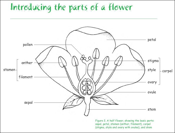 Parts Of A Flower Worksheet - parts of a flower worksheet for ...